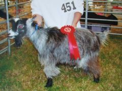 cheshiregoatling